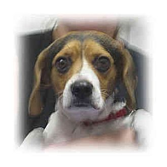 Beagle Mix Dog for adoption in Huntley, Illinois - Amber
