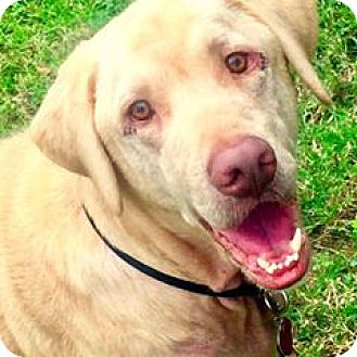 Labrador Retriever Mix Dog for adoption in Aiken, South Carolina - Marshall
