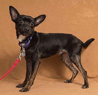 Terrier (Unknown Type, Medium)/Chihuahua Mix Dog for adoption in Davis, California - Jigsaw
