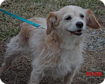 Brittany/Dachshund Mix Dog for adoption in Burlington, Vermont - Taffy (13 lb) Awesome Girl!