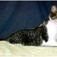 Domestic Shorthair Cat for adoption in Powell, Ohio - Kaycee