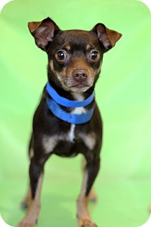 Chihuahua Mix Puppy for adoption in Waldorf, Maryland - Chewbacca