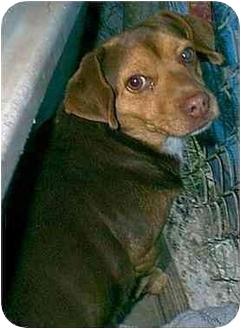 Dachshund Mix Dog for adoption in dewey, Arizona - Wilhelm
