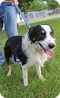 Border Collie Mix Dog for adoption in Brattleboro, Vermont - Gelert