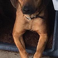 Adopt A Pet :: Dottie - Spring, TX