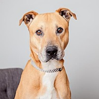 Mixed Breed (Large) Mix Dog for adoption in Mission Hills, California - Scoobie Doo