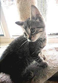 Domestic Shorthair Kitten for adoption in Hamilton, Ontario - Veck