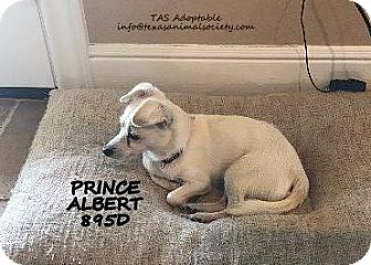 Chihuahua/Terrier (Unknown Type, Small) Mix Dog for adoption in Spring, Texas - Prince Albert