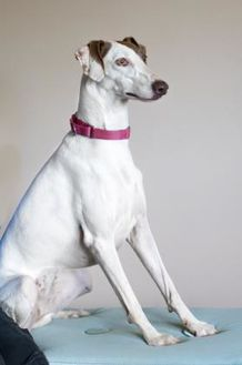 Whippet Mix Dog for adoption in Lihue, Hawaii - Carmen