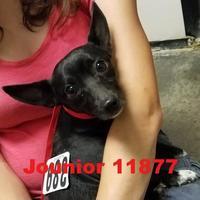 Adopt A Pet :: Junior - Manassas, VA