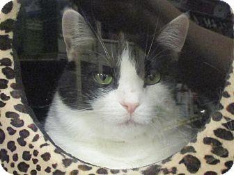 Domestic Shorthair Cat for adoption in Diamond Bar, California - JOY