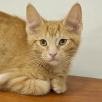 Domestic Shorthair/Domestic Shorthair Mix Cat for adoption in Elk Grove Village, Illinois - Frank