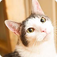 Domestic Shorthair Cat for adoption in Bowie, Maryland - Elliott (Courtesy Post)