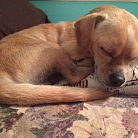 Adopt A Pet :: Little Man - Greensboro, MD