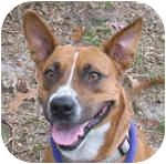 Cattle Dog Mix Dog for adoption in Eatontown, New Jersey - Gracie