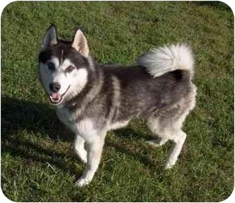 Husky Dog for adoption in Belleville, Michigan - King