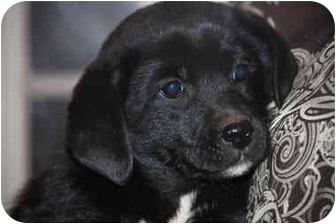 Labrador Retriever/Golden Retriever Mix Puppy for adoption in Prince William County, Virginia - molly
