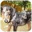 Photo 1 - Catahoula Leopard Dog Mix Puppy for adoption in West Warwick, Rhode Island - Shuge
