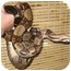 Photo 1 - Snake for adoption in Durham, North Carolina - Jumbo