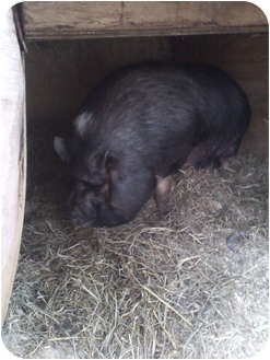 Pig (Potbellied) for adoption in Lagrangeville, New York - Petunia