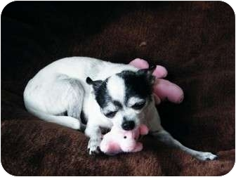 Chihuahua Mix Dog for adoption in Toronto, Ontario - Chuchi