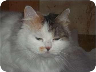 Persian Cat for adoption in Hampton, Virginia - Calypso