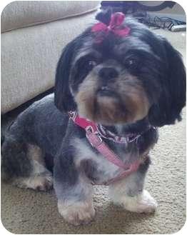 Shih Tzu Dog for adoption in Mays Landing, New Jersey - Mitzie-SC