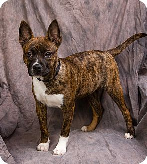 Boston Terrier Mix Puppy for adoption in Anna, Illinois - THEA
