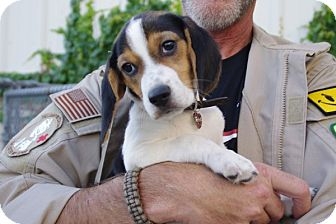 Beagle Mix Puppy for adoption in Elyria, Ohio - Harry