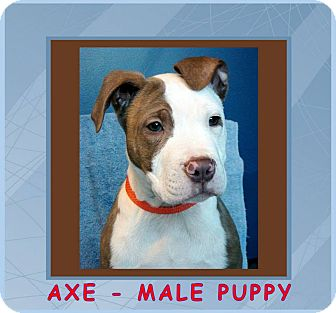 Pit Bull Terrier Mix Puppy for adoption in Red Bluff, California - AXE