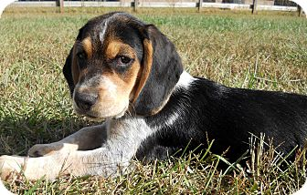 Beagle Mix Puppy for adoption in Salem, New Hampshire - PUPPY OLAF