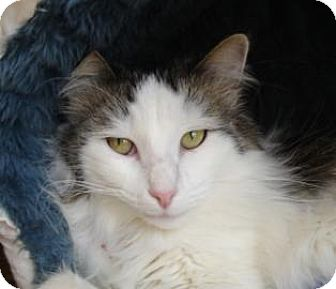 Domestic Shorthair Cat for adoption in Mountain Center, California - Libby