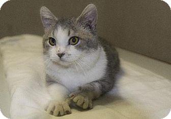 Domestic Shorthair Cat for adoption in Napoleon, Ohio - Leonard
