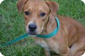 Labrador Retriever Mix Puppy for adoption in Miami, Florida - Rudy