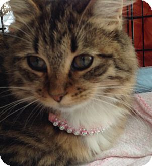 Domestic Longhair Cat for adoption in Olive Branch, Mississippi - Gabby
