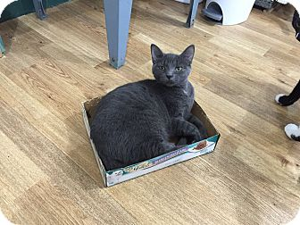 Domestic Shorthair Kitten for adoption in Speonk, New York - Pearl