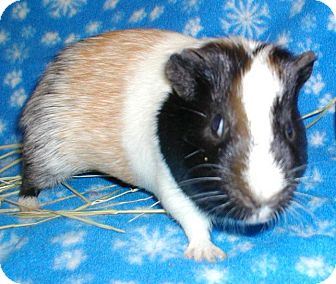 Guinea Pig for adoption in Steger, Illinois - Chubby