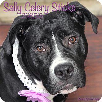 Labrador Retriever/American Staffordshire Terrier Mix Dog for adoption in Troy, Michigan - Sally Celery Sticks