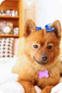 Pomeranian Mix Dog for adoption in Toledo, Ohio - Zinnia