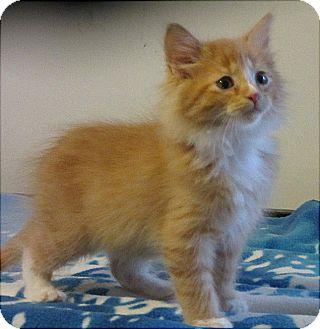 Domestic Mediumhair Kitten for adoption in Glenwood, Minnesota - Horatio
