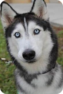 Husky Dog for adoption in New Smyrna Beach, Florida - Lady