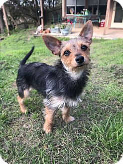 Cairn Terrier/Terrier (Unknown Type, Small) Mix Puppy for adoption in Hartford, Connecticut - Winn-Dixie