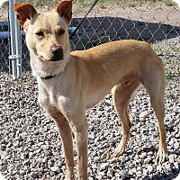 Whippet/Australian Cattle Dog Mix Dog for adoption in Sterling, Colorado - Preston