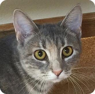 Domestic Shorthair Cat for adoption in Norwalk, Connecticut - Louise