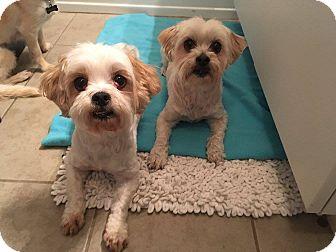 Shih Tzu Mix Dog for adoption in Chicago, Illinois - Simba & Nemo