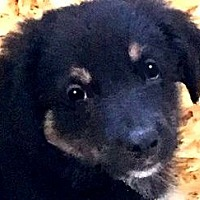 Adopt A Pet :: HENRY(SMART SMART LITTLE PUPPY - Wakefield, RI