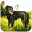 Photo 2 - Labrador Retriever/Golden Retriever Mix Puppy for adoption in Ile-Perrot, Quebec - PERCY