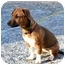 Photo 2 - Boxer/Dachshund Mix Puppy for adoption in Cleveland, Georgia - Rascal