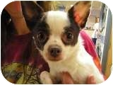 Chihuahua Dog for adoption in Norwalk, Connecticut - Cassie