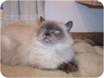 Himalayan Cat for adoption in Sheboygan, Wisconsin - Christopher